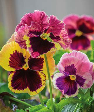 Pansy, Sunrise, , large