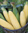 Corn, Maple Sugar Hybrid, , large