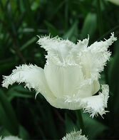 Tulip, Swan Wings, , large