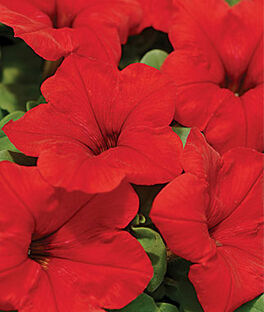 Petunia, Easy Wave™ Red Hybrid, , large