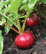Radish, Cherry Belle, , large