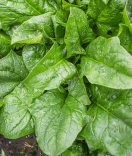 Spinach, A La Carte Hybrid, , large