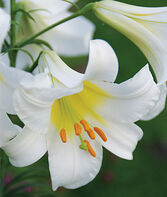 Lily Trumpet Regale, , large