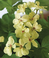 Geranium, First Yellow, , large