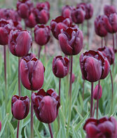 Tulip, Continental, , large
