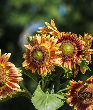 Sunflower, Candy Mountain Hybrid, , large