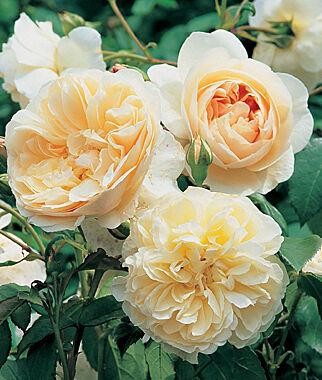 English Rose, Lichfield Angel , , large