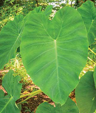 Elephant Ear, Fordhook Giant, , large