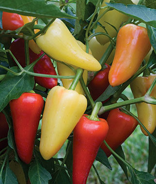 Pepper, Hot Mariachi Hybrid, , large