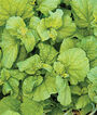 Cabbage, Chinese, Autumn Torch Hybrid, , large