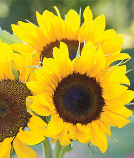 Sunflower, Elegance, , large