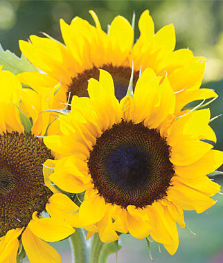 Sunflower Seeds - Snack, Giant, Dwarf, Garden and Pollenless ...