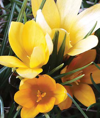 Crocus vernus, Yellow Mammoth, , large