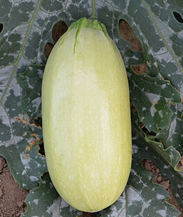 Squash, Summer, Great Griller Hybrid, , large