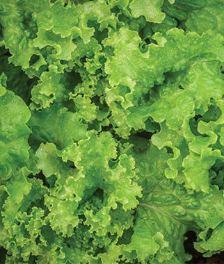 Lettuce, Green Ice, , large