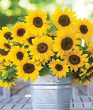 sunflower seeds  snack, giant, dwarf, garden and pollenless, Beautiful flower