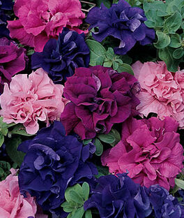 Petunia Burpee's Best Mix  Hybrid, , large