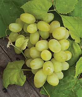 Grape Seedless, Marquis  PP11,012 , , large