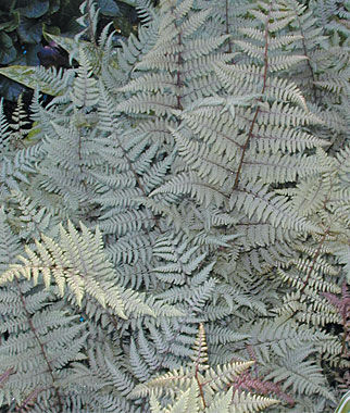 Athyrium, Ghost, , large