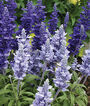 Salvia, Cathedral™ Deep Blue, , large