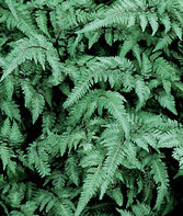 Fern, Japanese Painted , , large