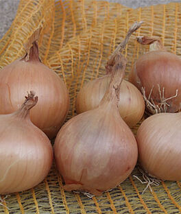 Onion, Sturon Organic, , large