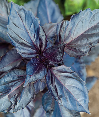 Basil, Purple Ruffles, , large