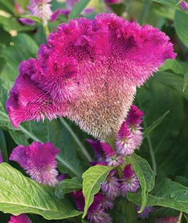 Celosia cristata,  Fan Dance Purple , , large