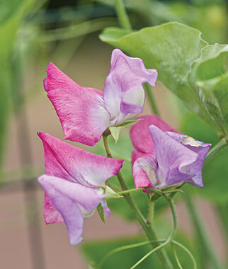 Sweet Pea, Enchante, , large