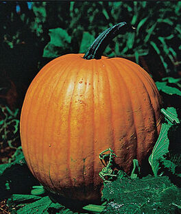 Pumpkin, Connecticut Field, , large