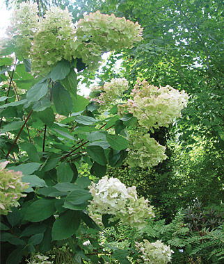 Hydrangea, Paniculata Unique, , large