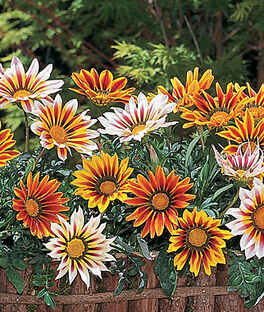 Gazania, Tiger Stripe Mix, , large