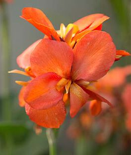 Canna, Cannova Orange Shade, , large