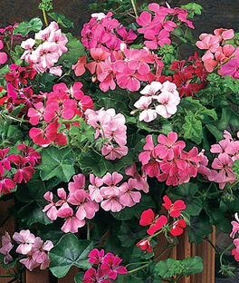 Geranium, Summer Showers  Mix, , large