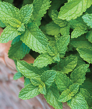Mint, Spearmint , , large