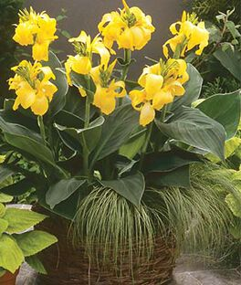 Canna, Cannova Yellow, , large