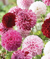 Dahlia, Pot Luck, , large