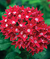 Pentas, Starcluster Red, , large