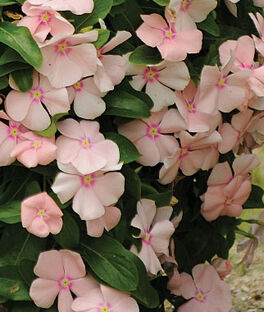 Trailing Vinca, Peach, , large