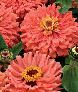 Senora 226 162 Zinnia Seeds And Plants Annual Flower Garden At