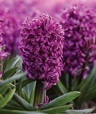 Hyacinth, Purple Sensation, , large