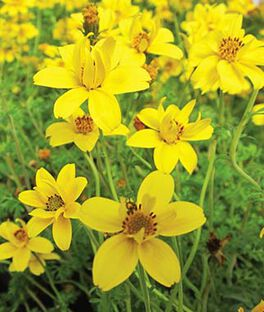 Bidens, Gold Nuggets, , large