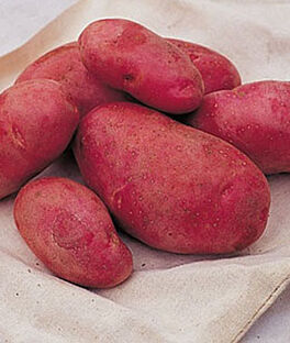 Potato, Red Cloud , , large
