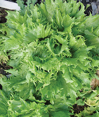 Heirloom seeds vegetable seeds and plants lettuce reine des glaces at - Salade reine des glaces ...