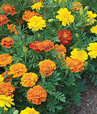 Happy Days Mix Marigold Seeds and Plants, Annual Flower Garden at ...