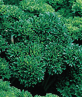 Parsley, Moss Curled Organic, , large
