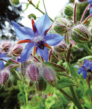 Borage, , large