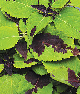 Coleus, Chocolate Splash, , large