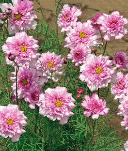 Cosmos, Double Click Bicolor Pink, , large