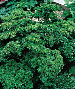 Parsley, Double Curled Organic, , large
